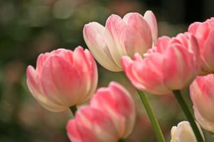 Kristina Kral Lilli Koisser Pixabay Cocoparisienne rosa Tulpen pink tulips