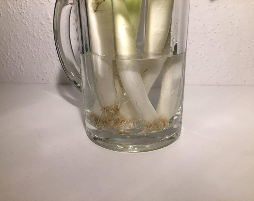 Kristina Kral Frühlingszwiebeln wieder einpflanzen