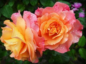 Symbolbild für Morgengebet: Rose